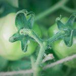 tomater epandl 2