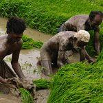 Rice-Sindh-Pakistan